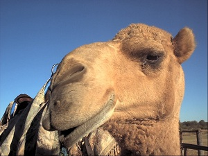 Camel-resized.jpg